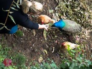 Caro mit Pfau und Hühner
